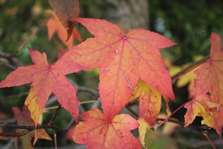 Red leaves beauty Red Leaves Autumn Beauty In Nature Change Close-up Day Focus On Foreground Geometry In Nature Leaf Nature No People Outdoors