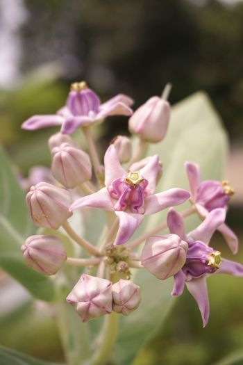 Tembega Beauty In Nature Bloom Blooming Blossom Calotropis Gigantea Close-up Crown Flower Day Flora Flower Flower Head Fragility Freshness Giant Milkweed Growth Milkweed Nature No People Outdoors Plant Purple