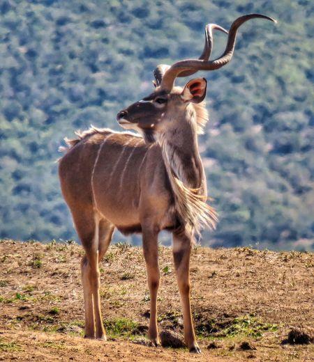 Kudu Horn Kudu Standing Full Length Sky Animal Themes Horned Herbivorous