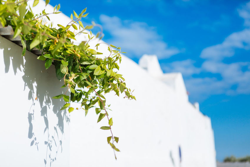 Sky Plant Nature Cloud - Sky No People Growth Leaf Beauty In Nature Plant Part Focus On Foreground White Color Day Low Angle View Close-up Freshness Outdoors Green Color Sunlight Architecture Built Structure