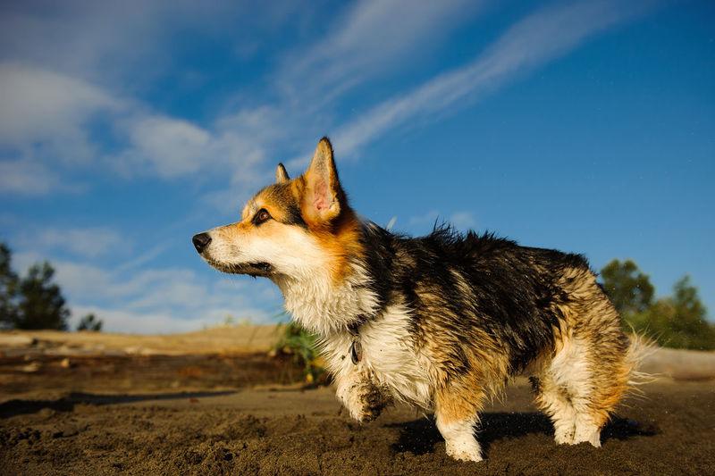 Dog running on sand against blue sky