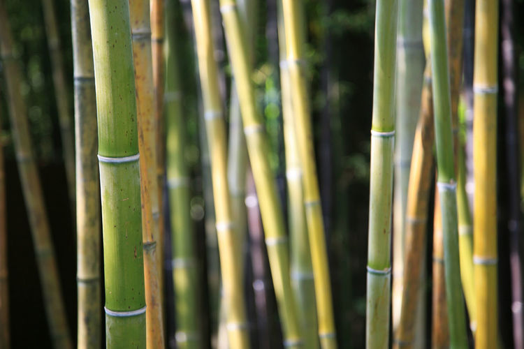 Close-up of bamboo against blurred background