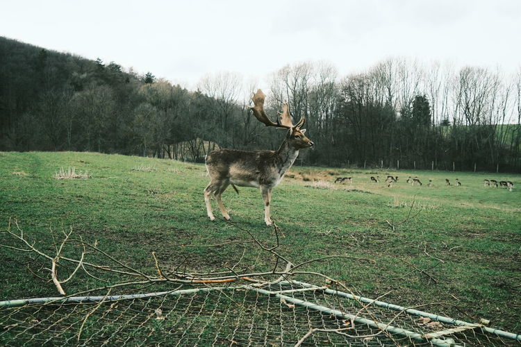 View of deer standing on field