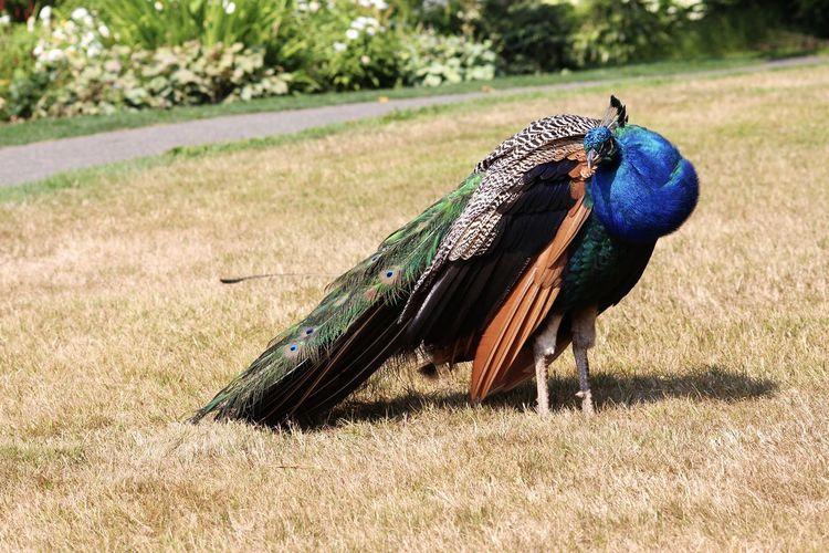 Peacock in a field