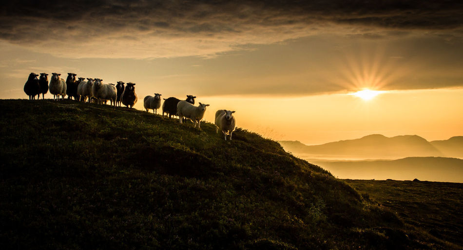 Sheep on countryside landscape at sunset