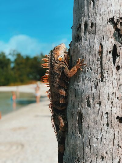 Close-up of iguana on tree trunk