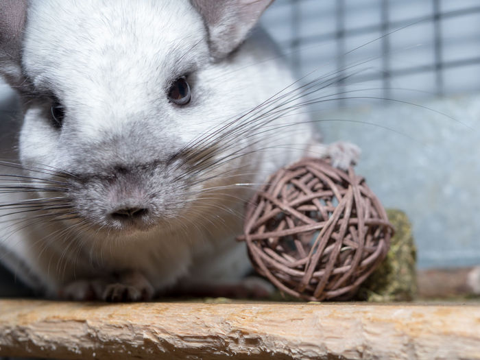 Chinchilla Chinchilla Posing Pet Wicker Ball Twig Ball Animal