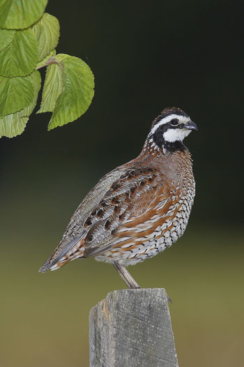 Northern Bobwhite Colinus Virginianus Northern Bobwhite Virginiawachtel Animal Themes Animal Wildlife Animals In The Wild Bird Day Nature No People One Animal Outdoors Perching