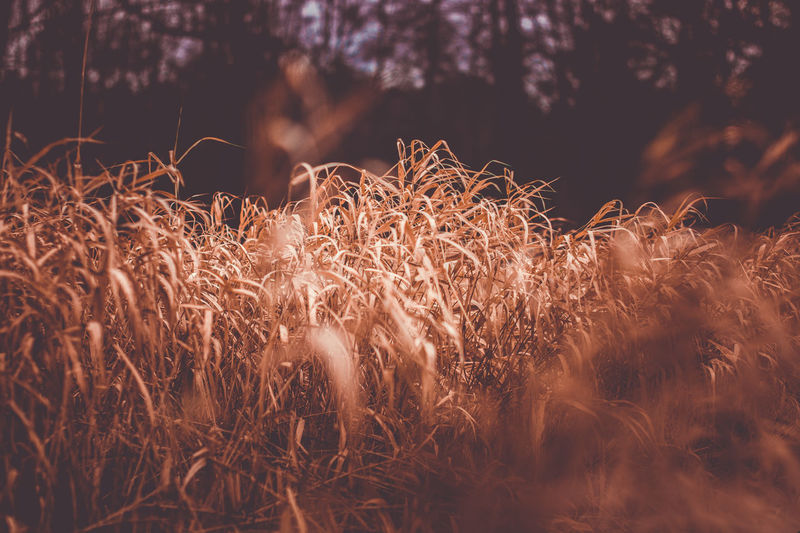 Agriculture Autumn Calming Grass View Autumn Colours Backgrounds Beauty In Nature Close-up Coulourful Crops Dry Dry Grass Dusk Dusk Colours Grassland Growth Landscape Nature Night No People Outdoor Photography Outdoors Wallpaper Wilderness