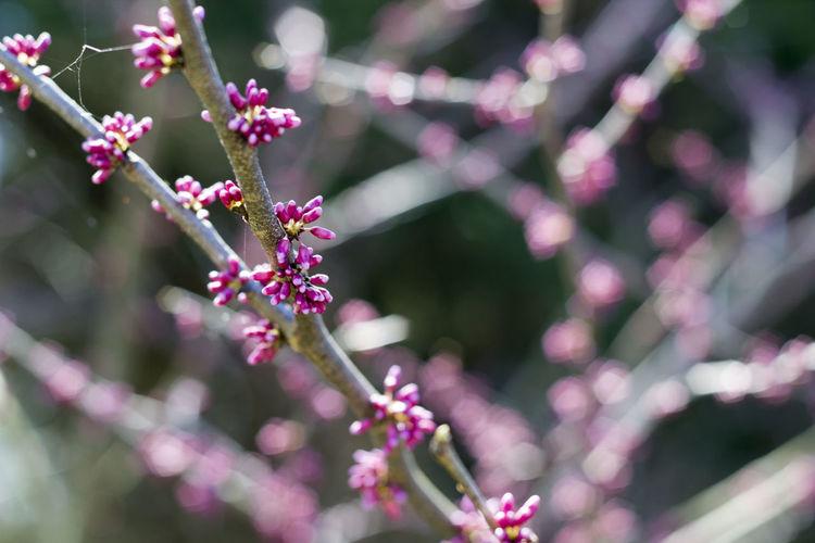 Pink buds on branch