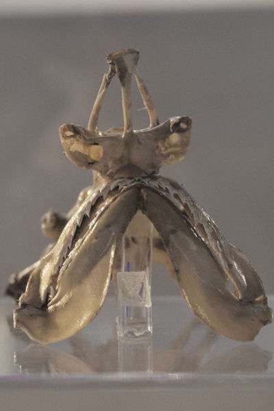 Cazon Beach Shark Cranium Jaw Mandible Museum Piece Share Your Adventure Shark Skull