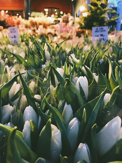 White tulips Flowers Flowershop Bouquet Of Flowers Collection White Flowers White Flower Tulip Tulips Bouquet Of Flowers Night Retail  Freshness Green Color Flower Growth Choice Market Beauty In Nature Day Nature No People Indoors  Close-up Flower Head