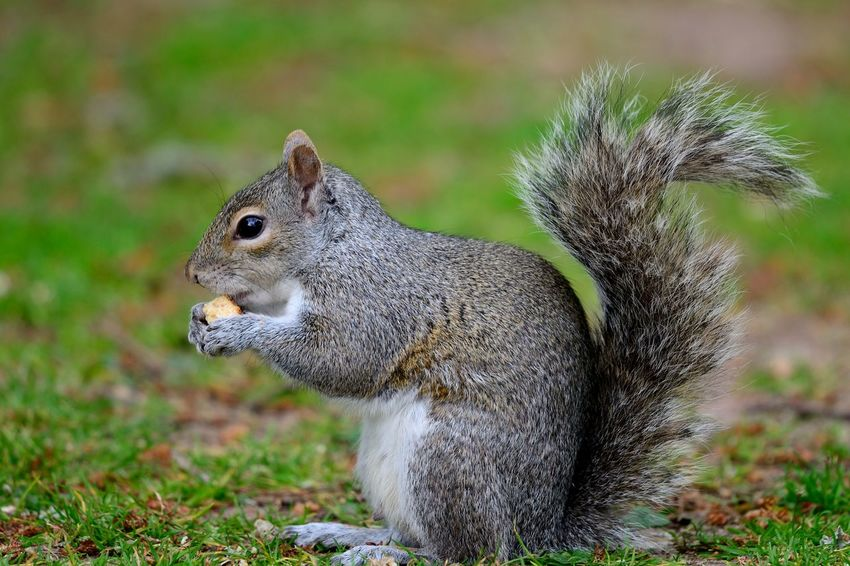 Animal Themes Animal Wildlife Animals In The Wild Backgrounds Check This Out Close-up Cute Day Eating Eye4photography  EyeEm Best Shots EyeEm Nature Lover Food Grey Squirrel Nature Nature Photography Nature_collection No People Outdoors Portrait Rodent Squirrel Squirrel Eating Taking Photos Wildlife