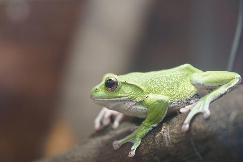 Rhacophorus schlegelii Frog Green Animal Themes Animal One Animal Animal Wildlife Animals In The Wild Green Color Nature Close-up
