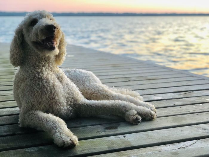 View of dog relaxing on pier
