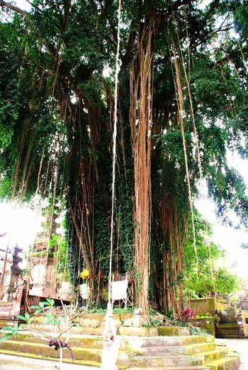 Baum Tree TreePorn Hugging A Tree Tree_collection  Grün Bali Indonesien INDONESIA EyeEm Indonesia Liane Liana Green Greenery Green Green Green!  Showcase: January