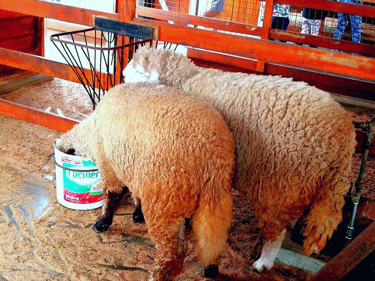 animal themes, mammal, livestock, domestic animals, no people, day, outdoors