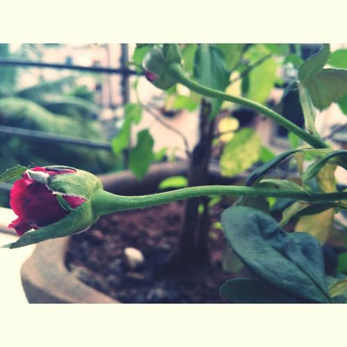 Rose🌹 Photography Depth Of Field Red Green Blue