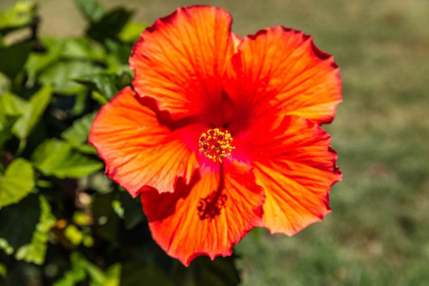 Hummingbird, Blossom Beauty In Nature Blossom Botany Close-up Day Flower Flower Head Focus On Foreground Fragility Freshness Growth Hibiscus In Bloom Nature Orange Color Outdoors Petal Plant Pollen Red Selective Focus Single Flower Springtime Stamen Vibrant Color