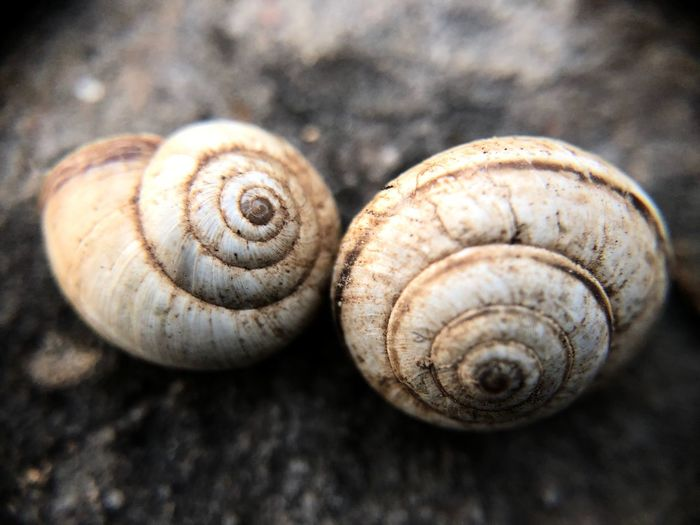Spiral Animal Wildlife Shell Animal Shell Animal Animal Themes Close-up Invertebrate Mollusk Snail Gastropod Swirl Animals In The Wild No People Natural Pattern Focus On Foreground Textured  Day Nature Pattern