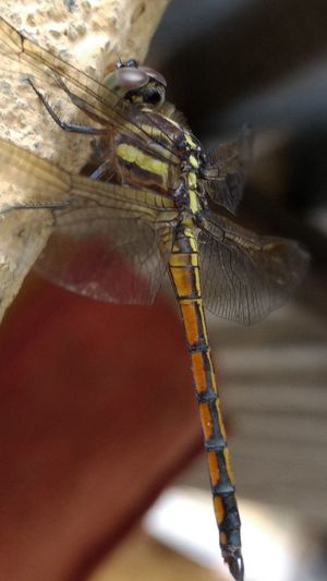 Nature inspire for being innovative..... Choppers' idea came from this living being..... Dragonfly💛 Animal Themes Close-up Animals In The Wild Outdoors No People Nature Insect One Animal Multi Colored Nature's Love Day Nature Paint The Town Yellow