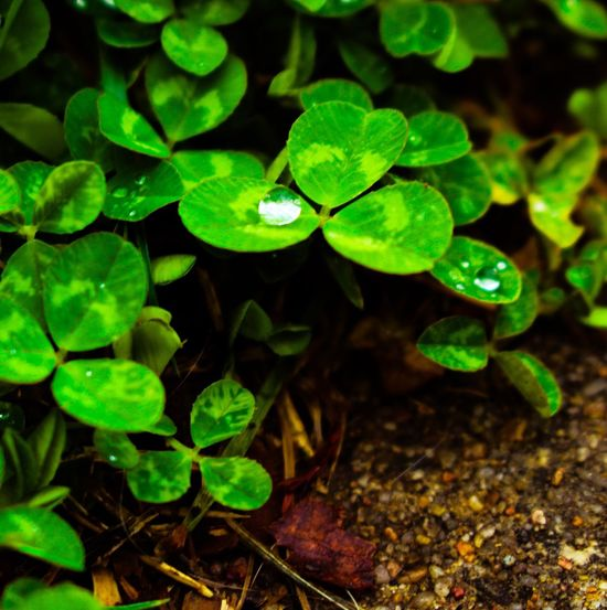 Leaf Green Color Nature Growth Plant Clover Beauty In Nature Freshness No People Outdoors Water Fragility Day Close-up Water Droplets Water Droplets On Leaves Raindrops Rainy Days☔ Cloverleaf Cloverleaves Clover