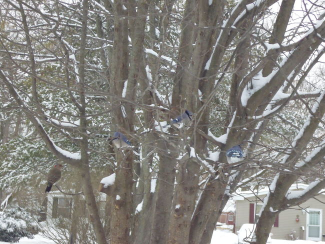 Winter Scene -- Rare sighting of a Yellow Shafted Northern Flicker Bird (Northern Flicker -- Colaptes auratus) with Blue Jays Bird Photography Blue Jay Colaptes Auratus Michigan, USA Northern Flicker Northern Flicker With Blue Jays Susan A. Case Sabir Unretouched Photography Webberville, MI Winter Photography Yellow Shafted Flicker Yellow Shafted Flicker Bird Yellow Shafted Northern Flicker Beauty In Nature Blue Jays No People Rare Bird Snow