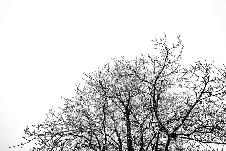 Tree Bare Tree Sky Branch Clear Sky Plant No People Nature Tranquility Day Beauty In Nature Outdoors Scenics - Nature Copy Space Blackandwhite Black And White Monochrome Cold Temperature High Key