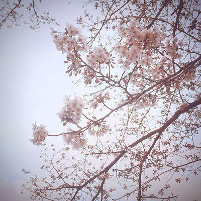 桜 Flower