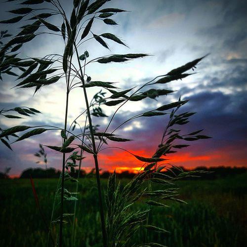 Sunset Silhouettes Long Grass Beautiful Sunset Stunning_shots Calendar Pic✌ Gorgeous_sunsets
