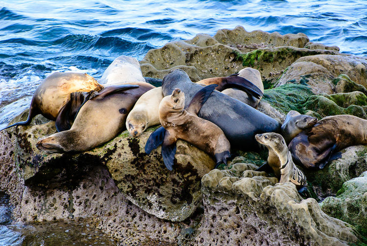 California sea lions piled on top of a rock California Sea Lions Zalophus Californianus Sea Lions LaJolla Sea Lions Sea Lion first eyeem photo