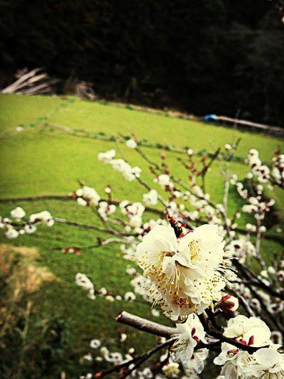 Japanese Plum Blossom Flowers