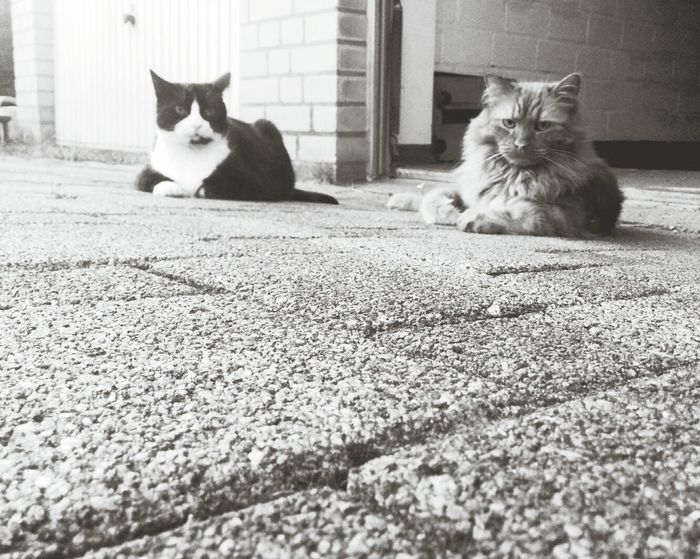 Cat Cats Black And White Animals