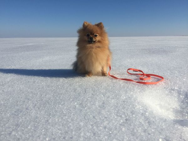 Pomeranian on the snow Winter Snow Dog On The Snow Travel Photography Spitz EyeEmNewHere Cute Pets Cute Pomeranian Pomeranian Dog Animal Mammal Animal Themes One Animal Snow Cold Temperature Nature Winter Sky Sunlight No People Animal Wildlife Frozen Animals In The Wild Pets Shadow