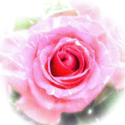 Happy Weekend 💖 👉🏻 https://youtu.be/ChcR2gKt5WM Rosé Flower Pink Color Beauty In Nature Fragility Nature Close-up Indoors  Inflorescence