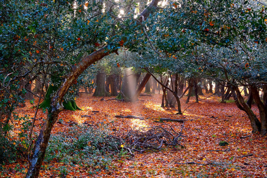Brockenhurst Tree Plant Nature Autumn Land Beauty In Nature Tranquility Growth Plant Part Leaf Forest Day No People Outdoors Tranquil Scene Change Branch Scenics - Nature Landscape Trunk WoodLand New Forest, Hampshire. UK Autumn colors Magical Autumn Forest