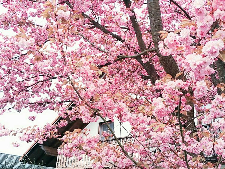 Nature Spring Flower Vilshofen An Der Donau Pink Enjoying Life Tree Beautiful Natur Schön