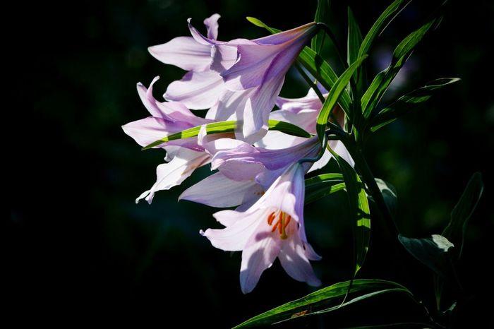 Flowers Lilium Rubellum