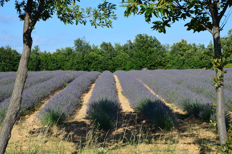 Lavenders in Provence Aromatherapy Lavenders Lavenders In Provence Agriculture Aromatherapy Oil Beauty In Nature Field Growth Healthy Healthy Lifestyle Healthylife Landscape Levender Levender Field Nature No People Plant Plateau D'Albion Purple Purple Flowers South Of France South Of France Flower Sunlight Tranquility Tree