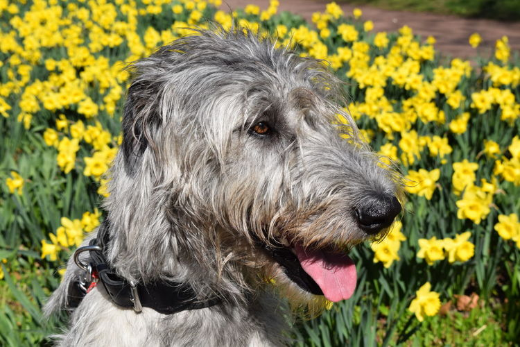 Flower Dog Domestic Animals Sunny Animal Themes Yellow Outdoors Animal Head  Dogs Of EyeEm DogWalkingAdventure Dogslife Irish Wolfhound One Animal Animal Head  A Walk In The Park Sunlight Cearnaigh Dog Of The Day Dogwalk How Is The Weather Today? Bokeh Portrait Looking At Camera Spring 2017 Close-up