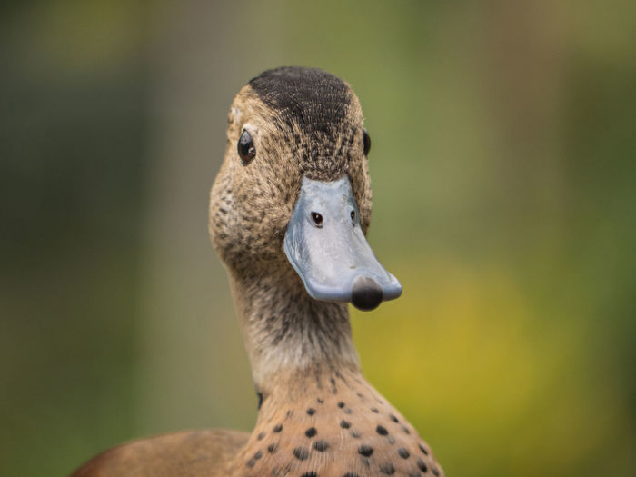 To sweet for a duck Animal Body Part Animal Neck Bird Close-up Day Duck Focus On Foreground Herbivorous Looking Looking Away Mammal Nature No People One Animal Outdoors Papiliorama Portrait Vertebrate