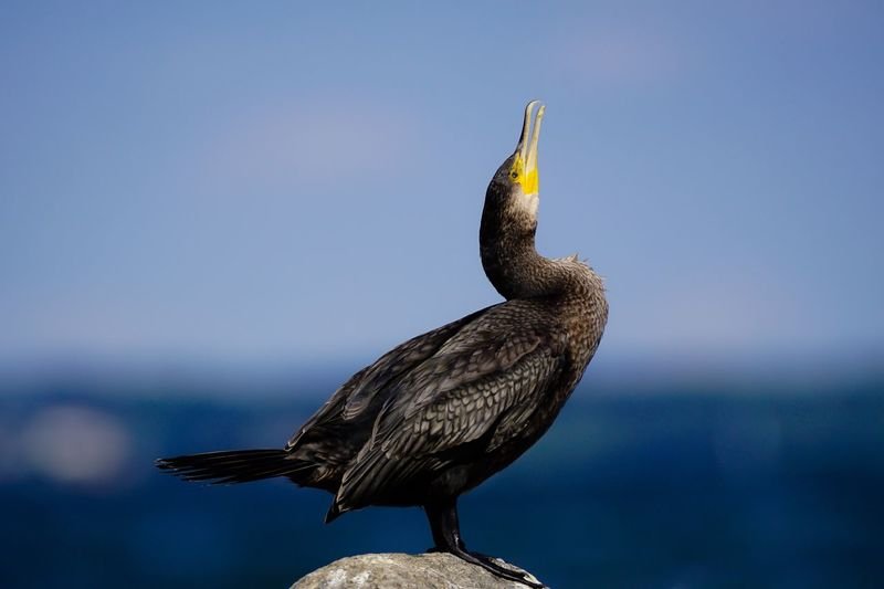 Cormorant  Kormoran Animal Themes Bird One Animal Wildlife Animals In The Wild Focus On Foreground Nature Day Sea Animal Head  Beauty In Nature No People EyeEm Nature Lover
