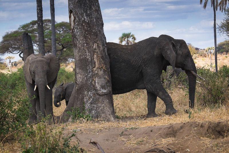 Elephant Tanzania Tansania Tarangire National Park Tanzanianationalparks Tarangire Elefant Elefanten  Elephants Africa Afrika EyeEmNewHere FUJIFILM X-T1 Small Elephant African Elephant Animal Wildlife Animals In The Wild