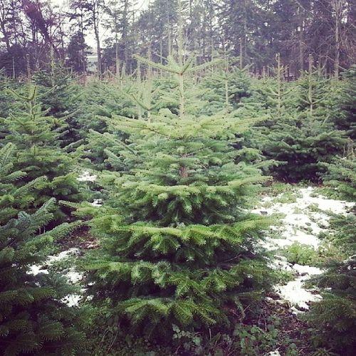 Der Zukünftige! Weihnachtsbaum Tanne BaumschuleStark Oldenburg OL