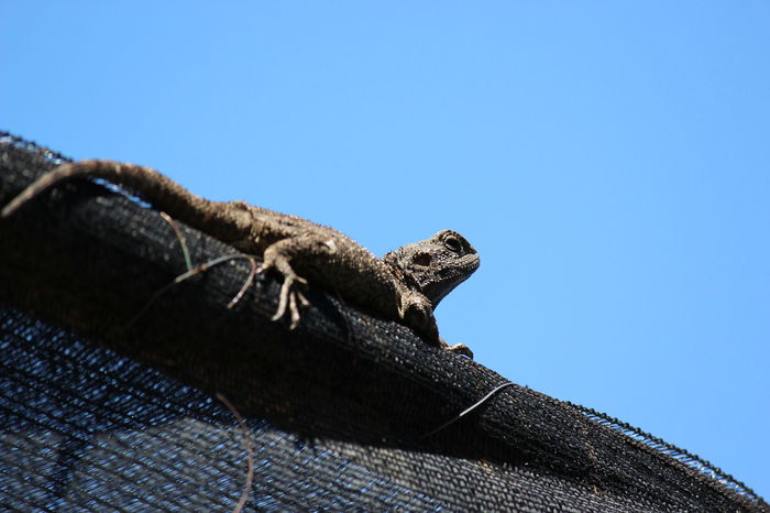 Blue Clear Sky Close-up Day High Section Lizard Low Angle View No People Outdoors Pet Portraits