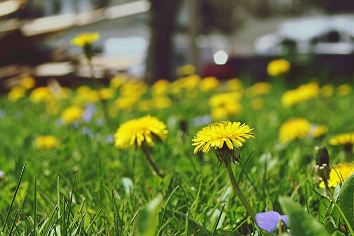 Dandelions Hello World Enjoying Life Nature Dandelion Spring Spring Flowers Check This Out Grass