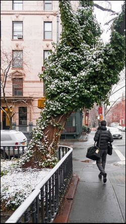 If this Tree could Talk #2 w/ snow - 3/4/16 A Light Dusting Of Snow Building Exterior EyeEm StreetPhotography, NYC Front Yard Giant Growth Of Ivy On Fork Of Old Tree House Iron Fence Outdoors Passer-by