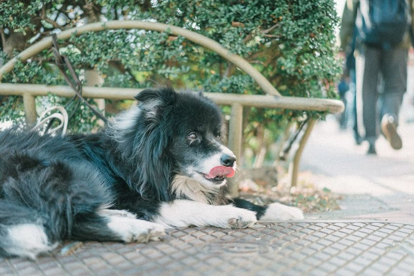 Pets One Animal Animal Themes Domestic Animals Dog Mammal Day No People Lying Down Close-up Outdoors