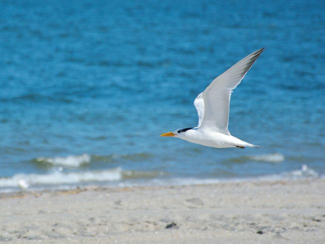 Small And Swift Middletown Nj At The Beach On The Wing Seabirds Gulls