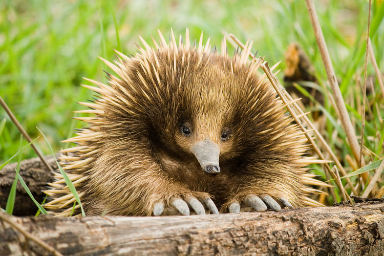 An Echidna having a rest and saying hello. First Eyeem Photo EyeEmNewHere